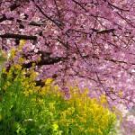 【2017年4月1日開催】(桜・SAKURAキャンペーン)グループ・ネクサス・ジャパン東京お茶会のお知らせ